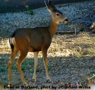 Deer at Dorland